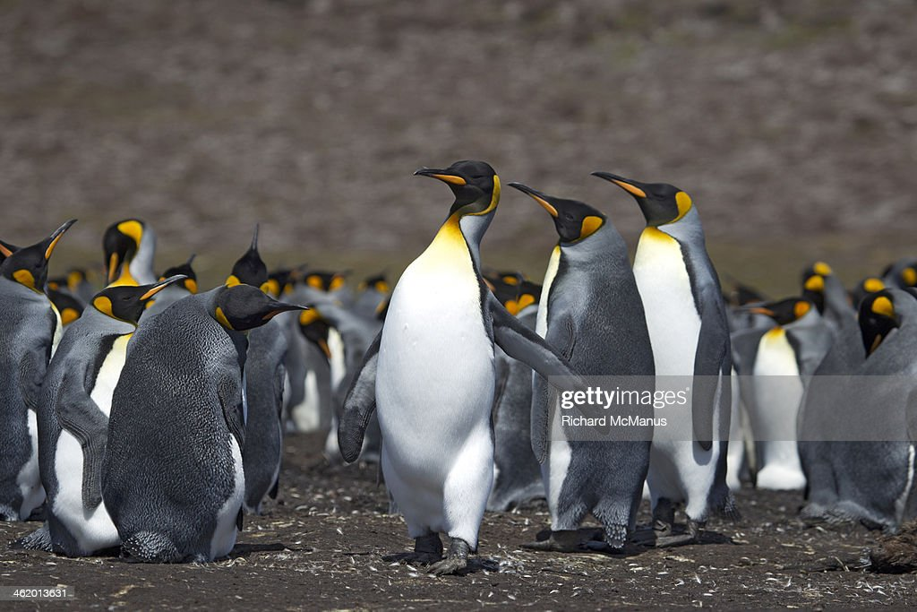 King Penguin strutting in front of group : Stock Photo