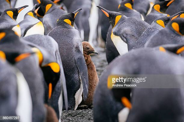 King Penguins and chick, Right Whale Bay