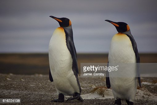 King Penguins at volunteer point : Stock Photo