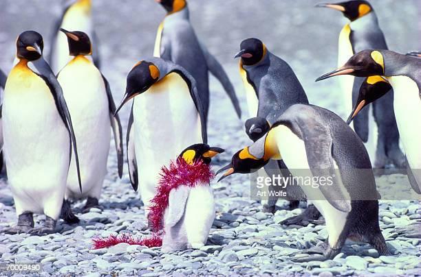 King penguins (Aptenodytes patagonicus)examining toy penguin