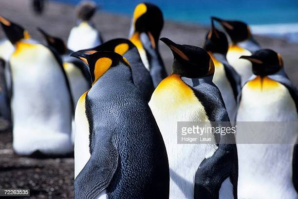 King Penguins (Aptenodytes patagonica), Falkland Islands