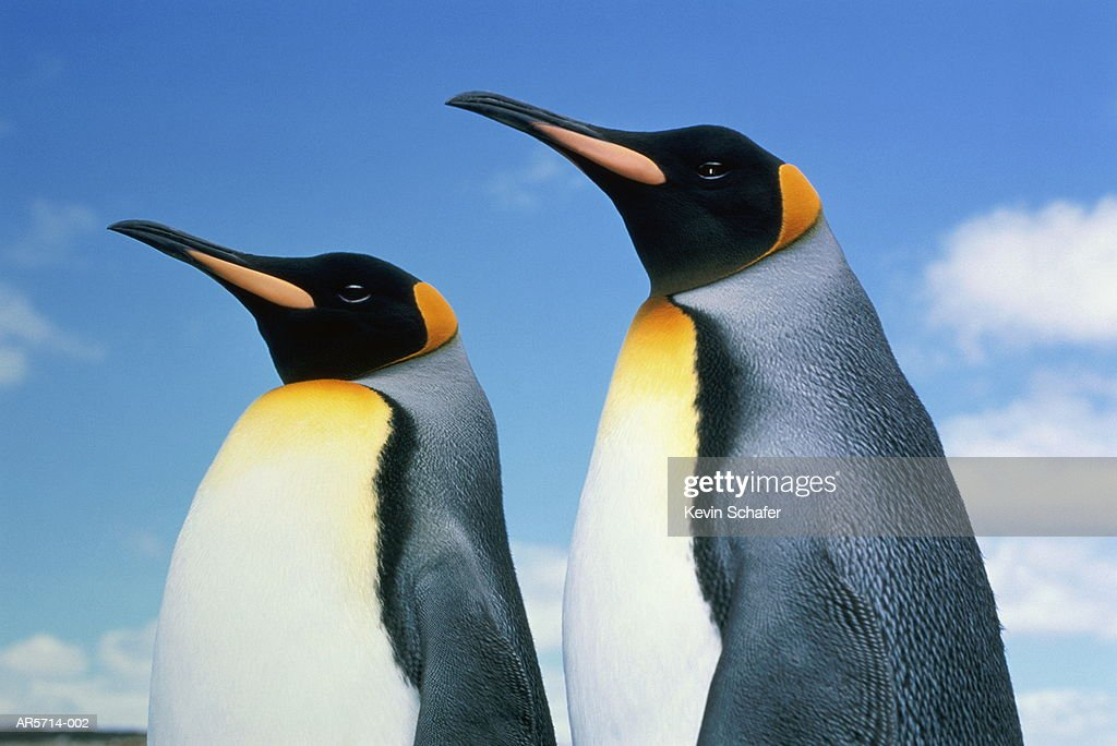 King penguins (Aptenodytes patagonicus), Falkland Islands : Stock Photo