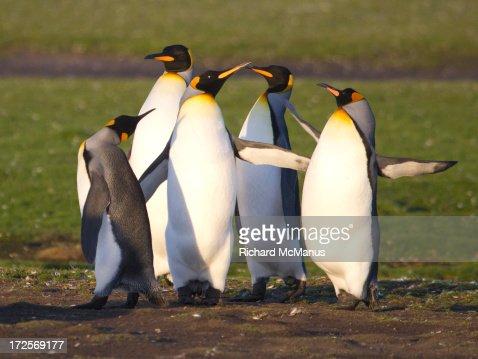 King penguins flighting