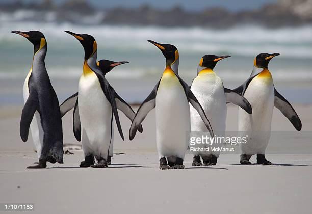 King Penguins on beach.