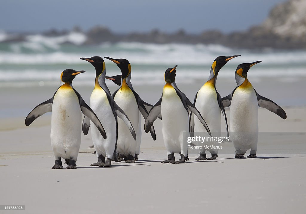 King penguins on the beach at Volunteer Point. : Stock Photo