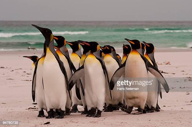 King penguins (Aptenodytes patagonicus) on the beach, Volunteer Point, East Falkland, Falkland Islan