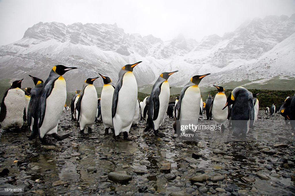 King Penguins : Stock Photo