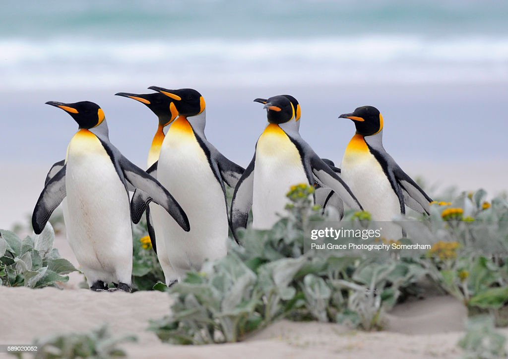King Penguins return from fishing trip