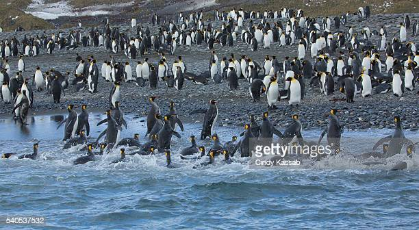 King Penguins Returning to Shore on Salisbury Plain, South Georgia