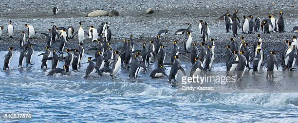 King Penguins Returning to Shore on Salisbury Plain, South Georgia