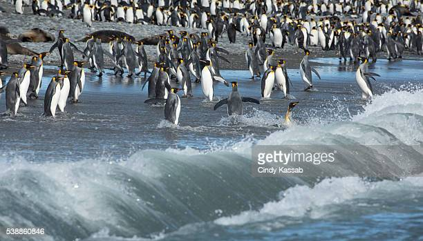 King Penguins Returning to Shore on South Georgia Island