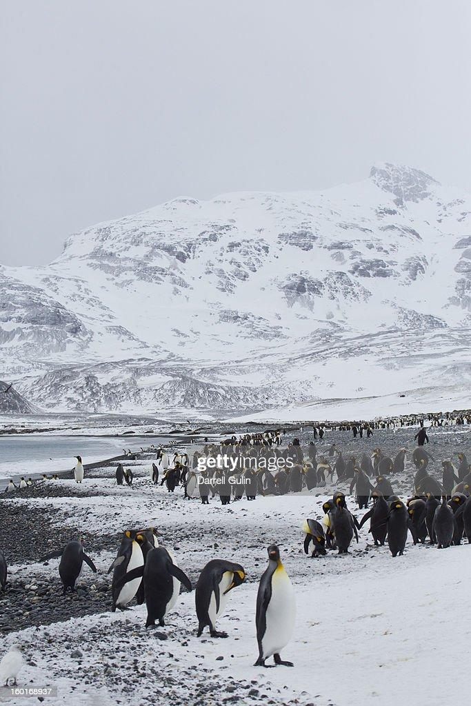 King Penguins Salisbury Plain early season snows : Stock Photo