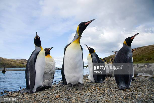 Pingüinos sur, Georgia-Cama King