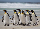 King penguins strolling on beach