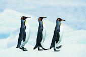 King Penguins walking in single file