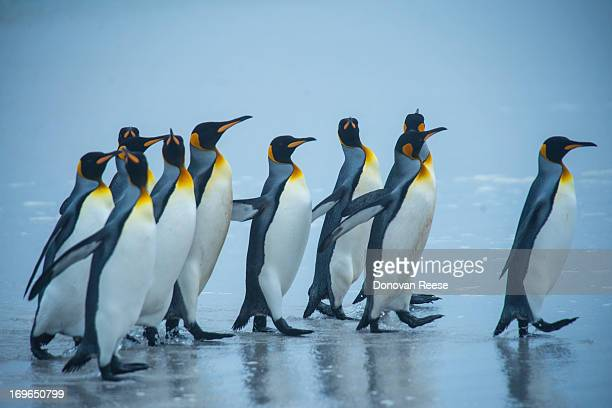 King Penguins Walking on Beach, Antarctica