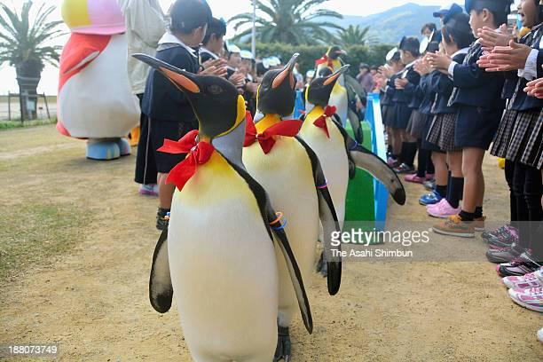 King penguins wearing bow ties take a walk at a penguin parade launching ceremony at Nagasaki Penguin Aquarium on November 14 2013 in Nagasaki Japan...