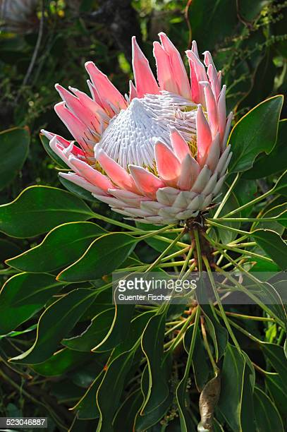 King Protea -Protea cynaroides-, Cape Point Nature Reserve, Western Cape Province, South Africa, Africa