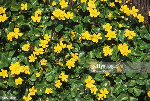Kingcup or Yellow marsh marigold Ranunculaceae