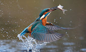Kingfisher, Alcedo atthis, Single bird diving for fish, Worcesteshire, November 2009