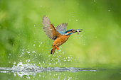 Male kingfisher emerging from the water after a succesful dive