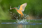 Female kingfisher emerging from the water after a succesful dive