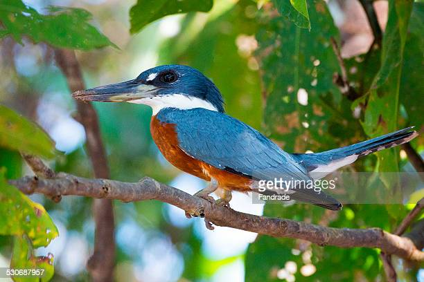 Kingfisher Fisherman Pantanal Wetlands Brazil