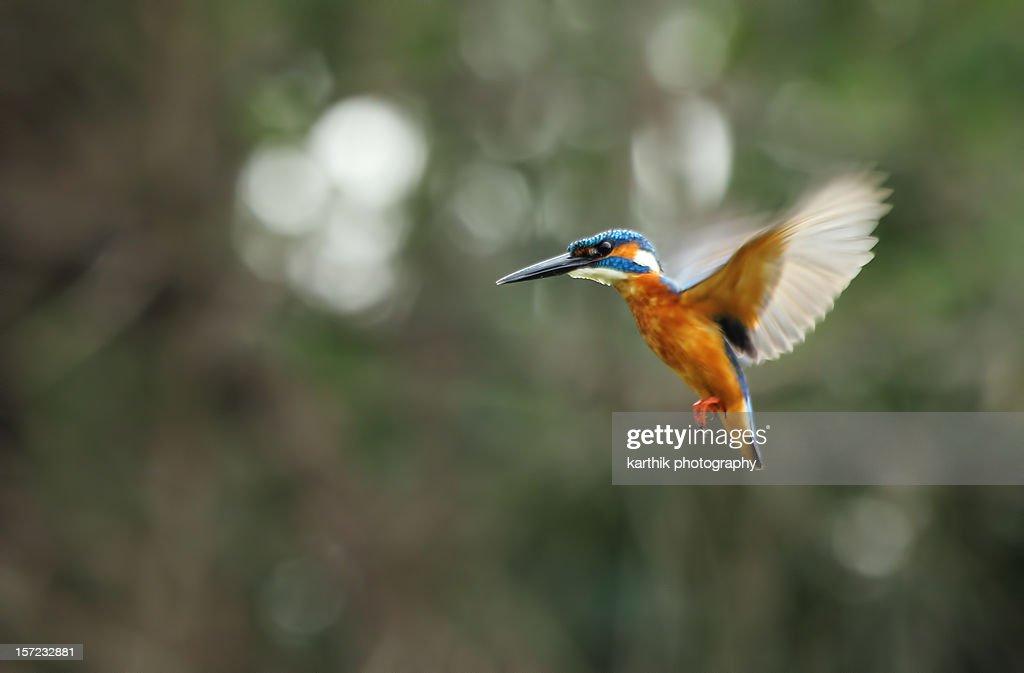 Kingfisher In Flight : Stock Photo