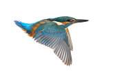 Flying Common Kingfisher (Alcedo atthis) isolated on white - young male.