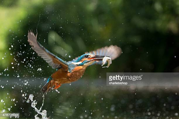 Kingfisher in flight with fish (Alcsdo atthis)