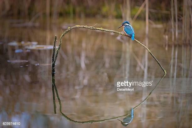 Kingfisher perching on branch and looking out for fish
