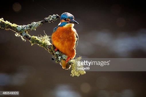 Guarda-rios : Foto de stock