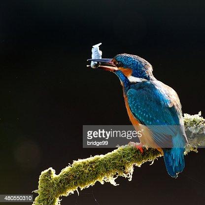 kingfisher : Stock Photo