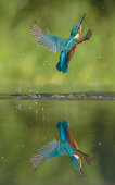 A male Kingfisher bursts from the water in a shower of spray and water droplets after failing to catch a fish. His reflection in the water in nearly perfect.