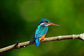 Kingfisher in the wild on the island of Sri Lanka