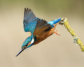 Kingfisher flying down from a branch