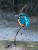 National Treasures collection of beautiful British riverside birds. Image depicts a beautiful Kingfisher (Alcedinidae) perched on a branch above a brook. Collection of six unique images, purchase indi