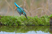 Kingfisher that plunges