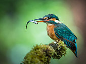 kingfisher with fish sitting on a mossy branch