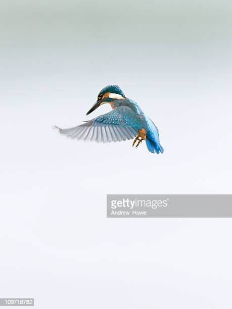 Kingfisher with Wings Spread in Flight