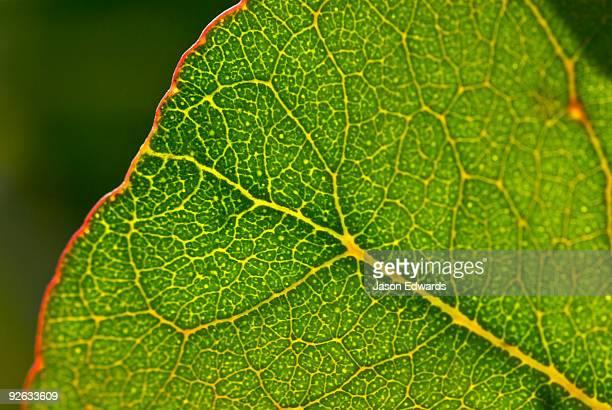 Vein detail of a eucalyptus leaf on a lignotuber on a burnt tree trunk