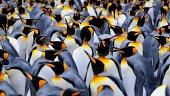 kings Penguins