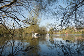 Swans at Kings Pond in Alton, Hampshire