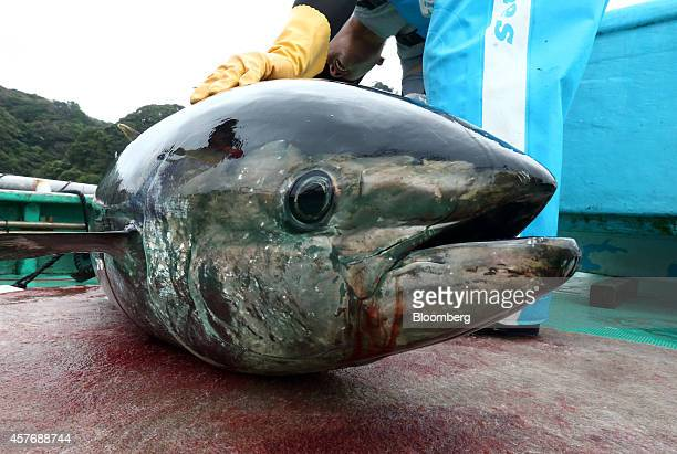 A Kinki University Fisheries Laboratory staff member checks a farmed bluefin tuna on board a boat at a fish farm operated by the laboratory in...