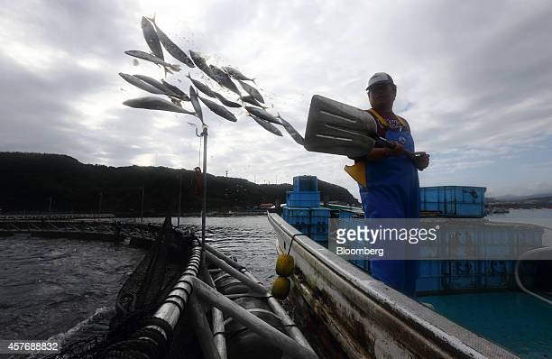 A Kinki University Fisheries Laboratory staff member throws mackerel into a sea pen to feed bluefin tuna at a fish farm operated by the laboratory in...