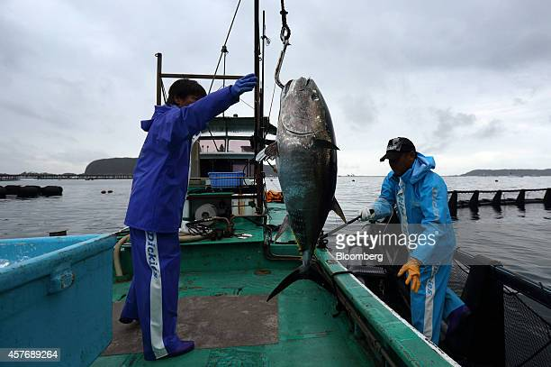 Kinki University Fisheries Laboratory staff members load a farmed bluefin tuna onto a boat at a fish farm operated by the laboratory in Kushimoto...