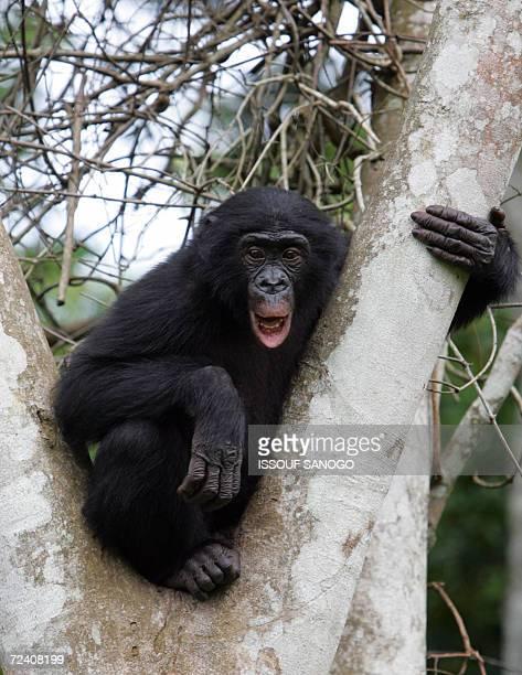 Kinshasa Democratic Republic of the Congo This picture taken 04 November 2006 in the 'Lola ya bonobo' parc near Kinshasa shows a bonobo Bonobos live...
