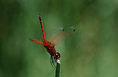 Kirbys Dropwing dragonfly on stem, close up
