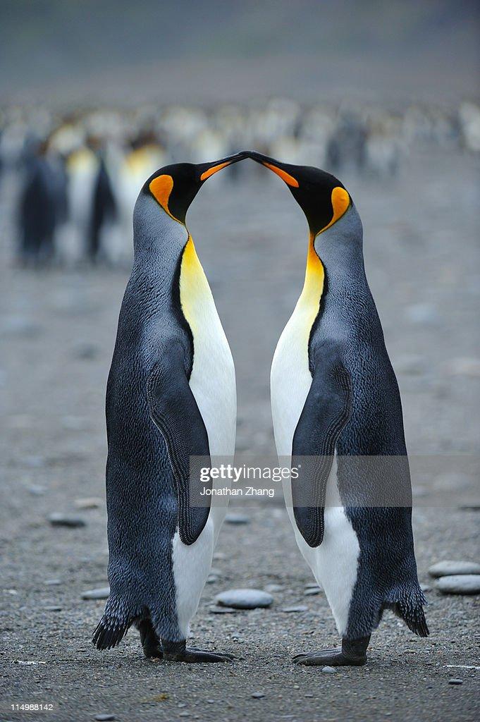 Kiss of   penguins