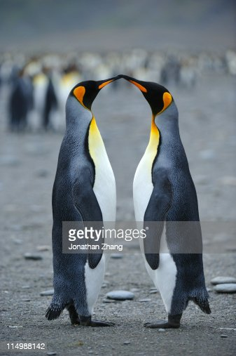 Kiss of   penguins